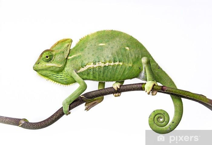 self-adhesive-wall-murals-green-chameleon-chamaeleo-calyptratus